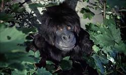 gorillagang1